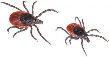 Close-up of two deer ticks. Castor bean tick, Ixodes ricinus Isolated on white background