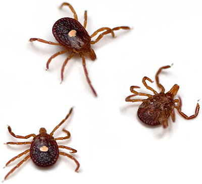 Lone Star Tick (Amblyomma americanum) on a white background