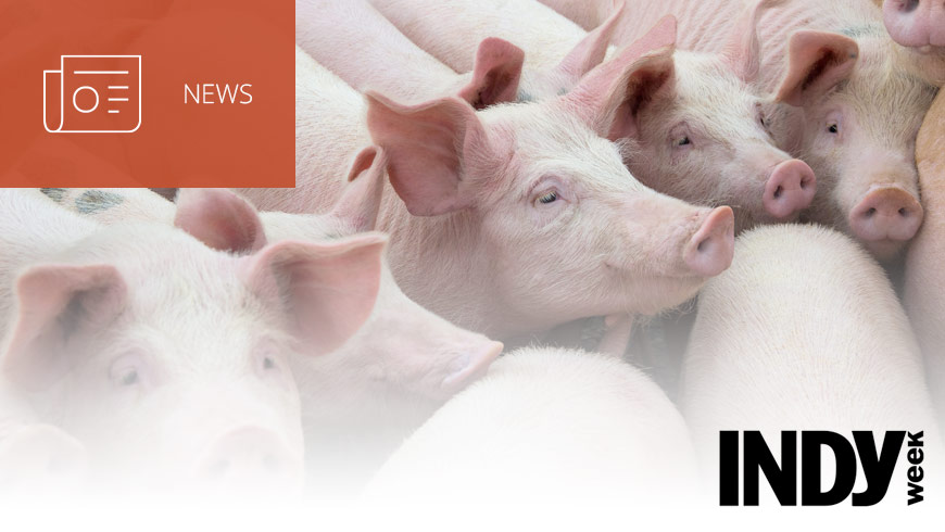 Photo Of Pigs With INDY Week Logo And White Sans-serif Type In Upper Left On Dark Orange Background With News Icon